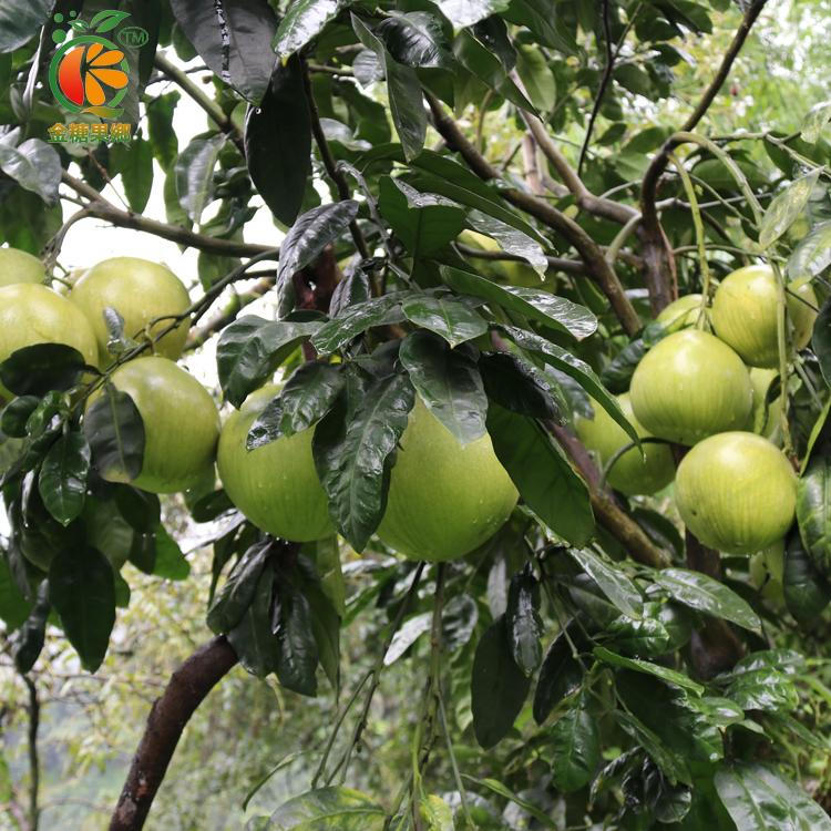 中国水果商城加盟热线/橙红柚多少钱一斤/四川金糖果香农业发展有限公司