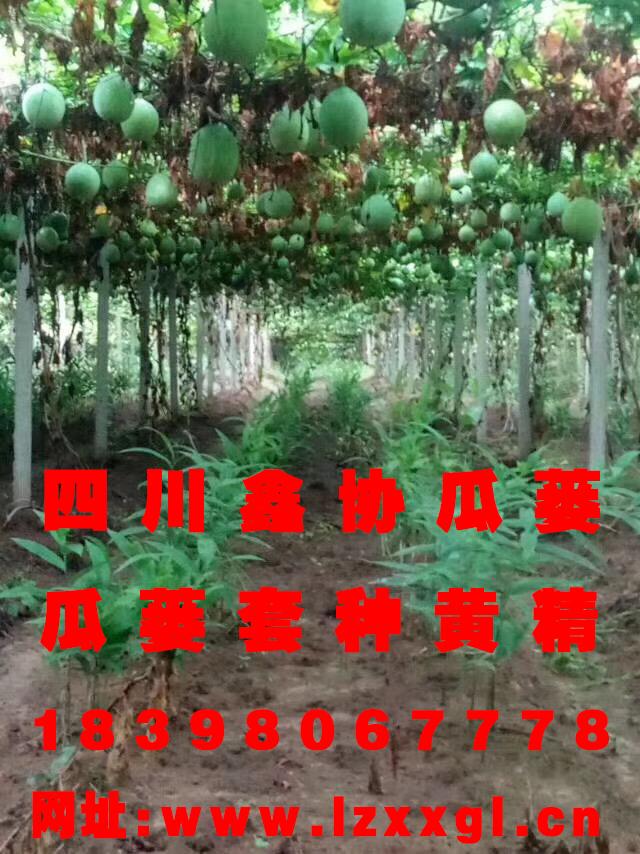 四盘缠阳安岳黄精种苗价钱效劳商 瓜蒌籽 其他未分类提供吴茱萸医治成效重磅优惠来袭