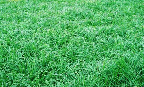 麦冬种苗供应_瓜蒌种苗图片_四川八福农业开发有限公司