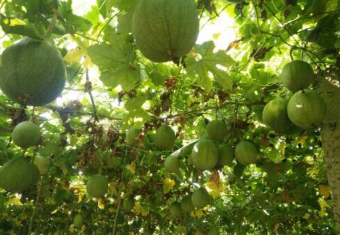 八福瓜蒌种苗报价_豫贸网