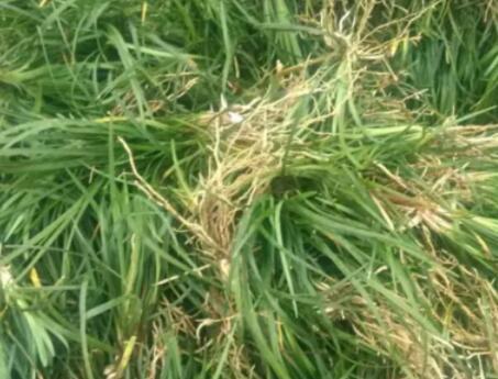 绵阳麦冬草-天花粉价格-四川八福农业开发有限公司