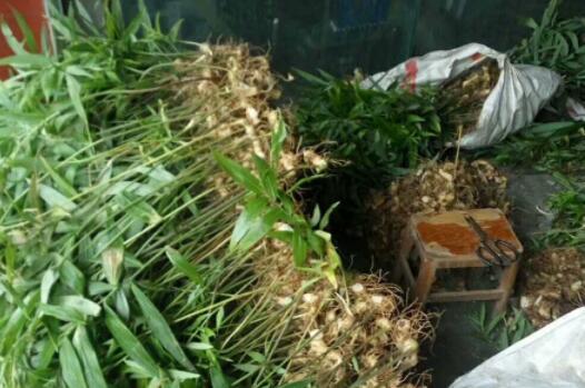 八福黄精种苗多少钱 麦冬种苗批发价格 四川八福农业开发有限公司