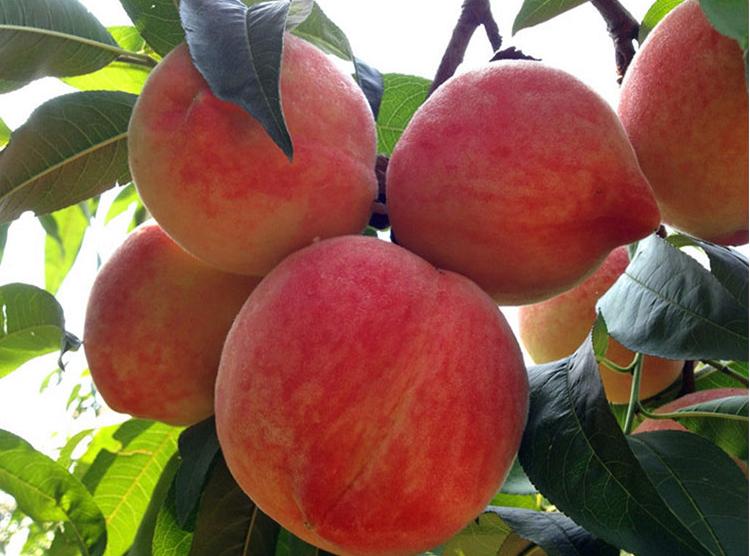 新鲜水蜜桃配送-成都新鲜水果配送-成都宇昊电子商务有限公司