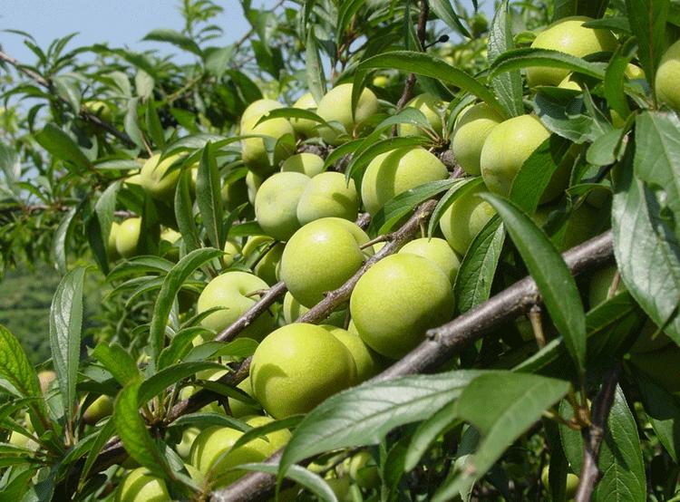 成都李子多少钱一斤 巨峰葡萄批发 成都宇昊电子商务有限公司