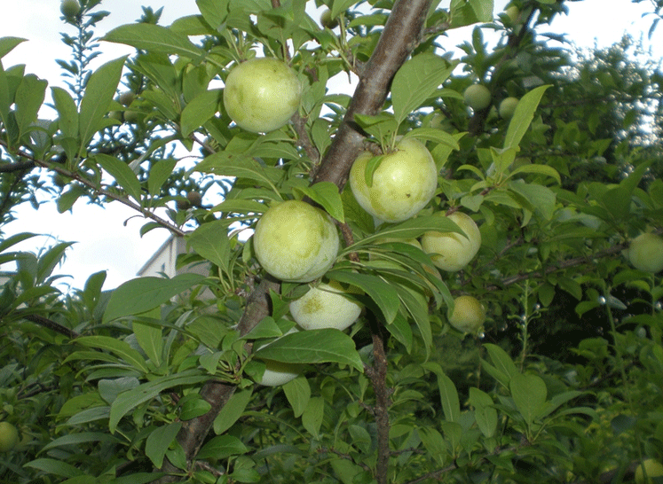 四川爱媛柑橘大量供应 优质红心猕猴桃产地直销 成都宇昊电子商务有限公司