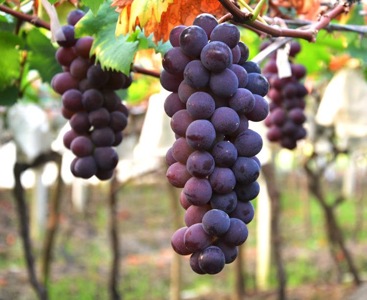 巨峰葡萄供应-成都红心柚价格-成都宇昊电子商务有限公司