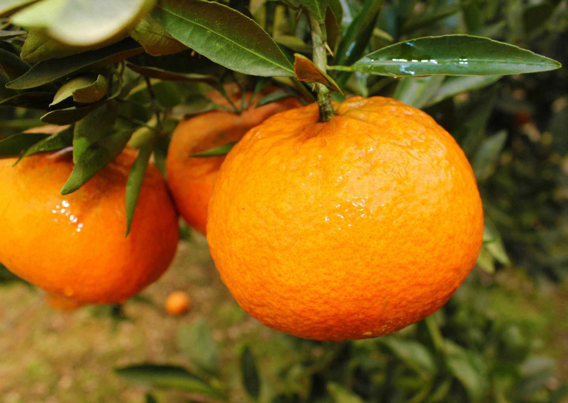 优质柑橘价格-自发面粉价格-四川瀚瑞森贸易有限公司