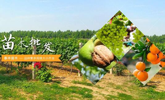 薄壳核桃苗供应-嫁接桃苗-简阳市泰丰苗木种植专业合作社