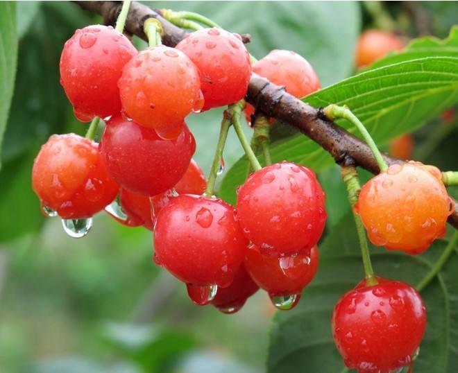 樱桃苗出售_简阳其他种子、种苗