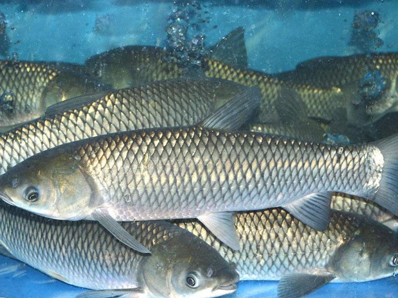 天然有机鱼价格_淡水鱼类