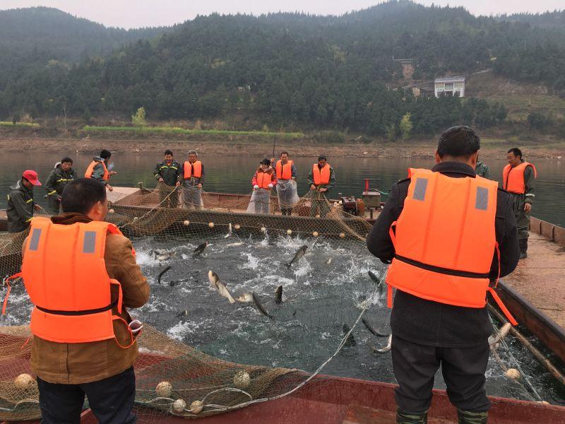 鲤鱼/重庆鲢鱼养殖基地/璧山区风穗食用农产品经营部