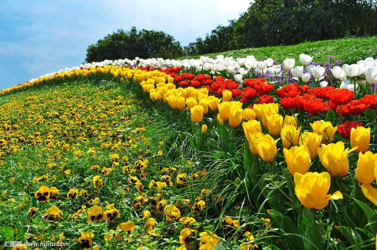 花木种植基地-四川黄花风铃木批发-郫都区友爱镇金强园林种植场