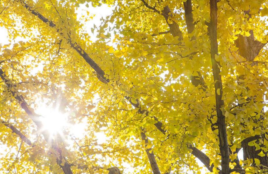 花木-黄花风铃木基地-郫都区友爱镇金强园林种植场