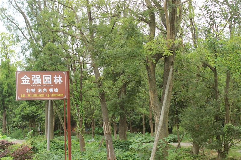 金强园林哪里有_豫贸网