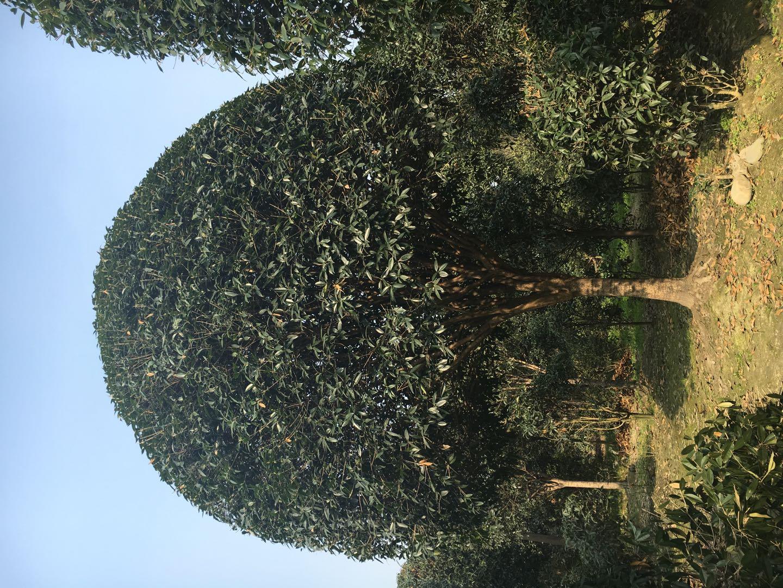 桂花价格_高杆其他绿化苗木基地-成都雷廷景艺园林绿化有限公司
