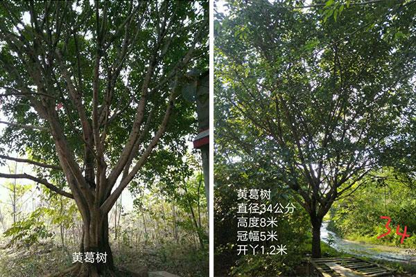 黄葛树基地_临沂网上批发城