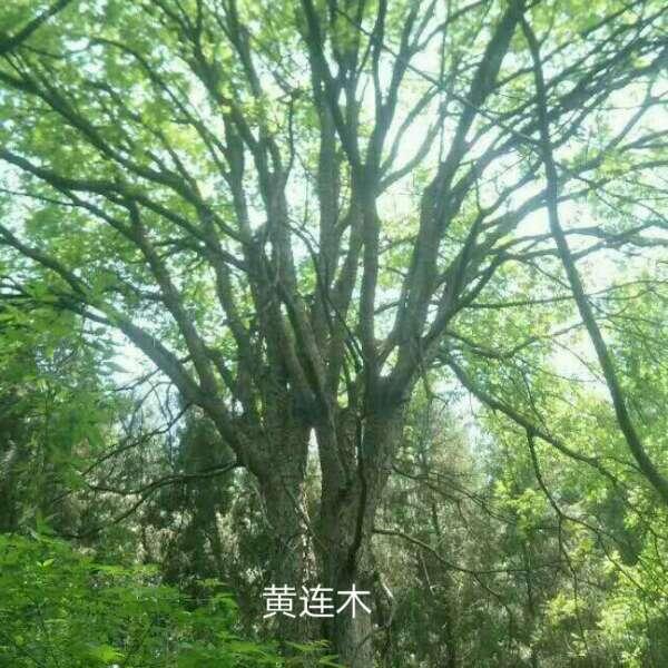 绿化紫薇价格_临沂网上批发城