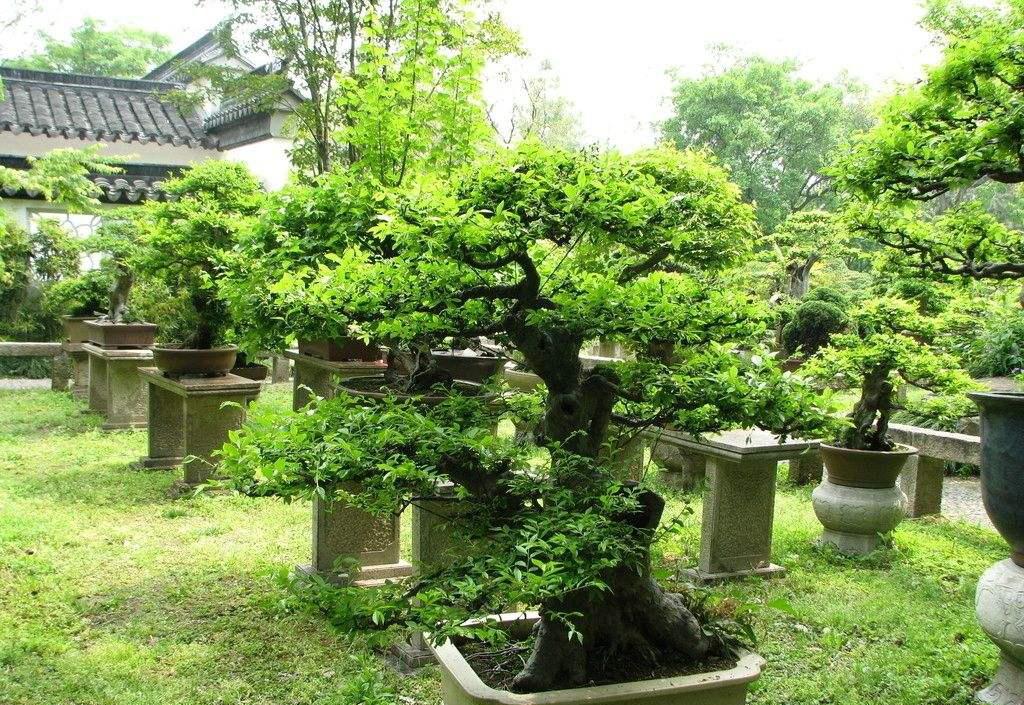 常见盆栽树种有哪些_ 盆栽销售相关-贵州常青园林秒速时时彩