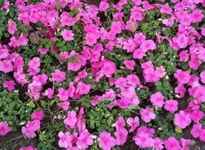 草花种植工程_四季其他花卉