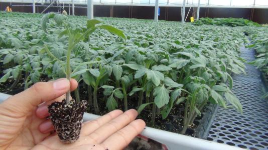 药材类种苗价格_育苗花卉种子、种苗种植-昆明市二环西路惠园农副产品经营部