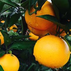 去哪里批发柑橘_商机网