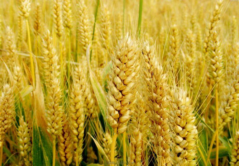 汉中绿林有机小麦哪里买_天然麦类
