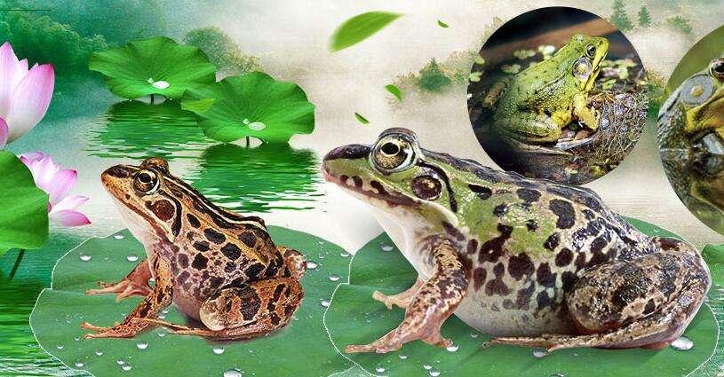 青蛙养殖四川基地_360集讯