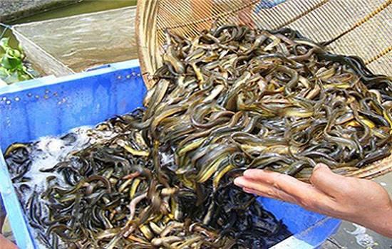 专业泥鳅养殖方法_168商务网