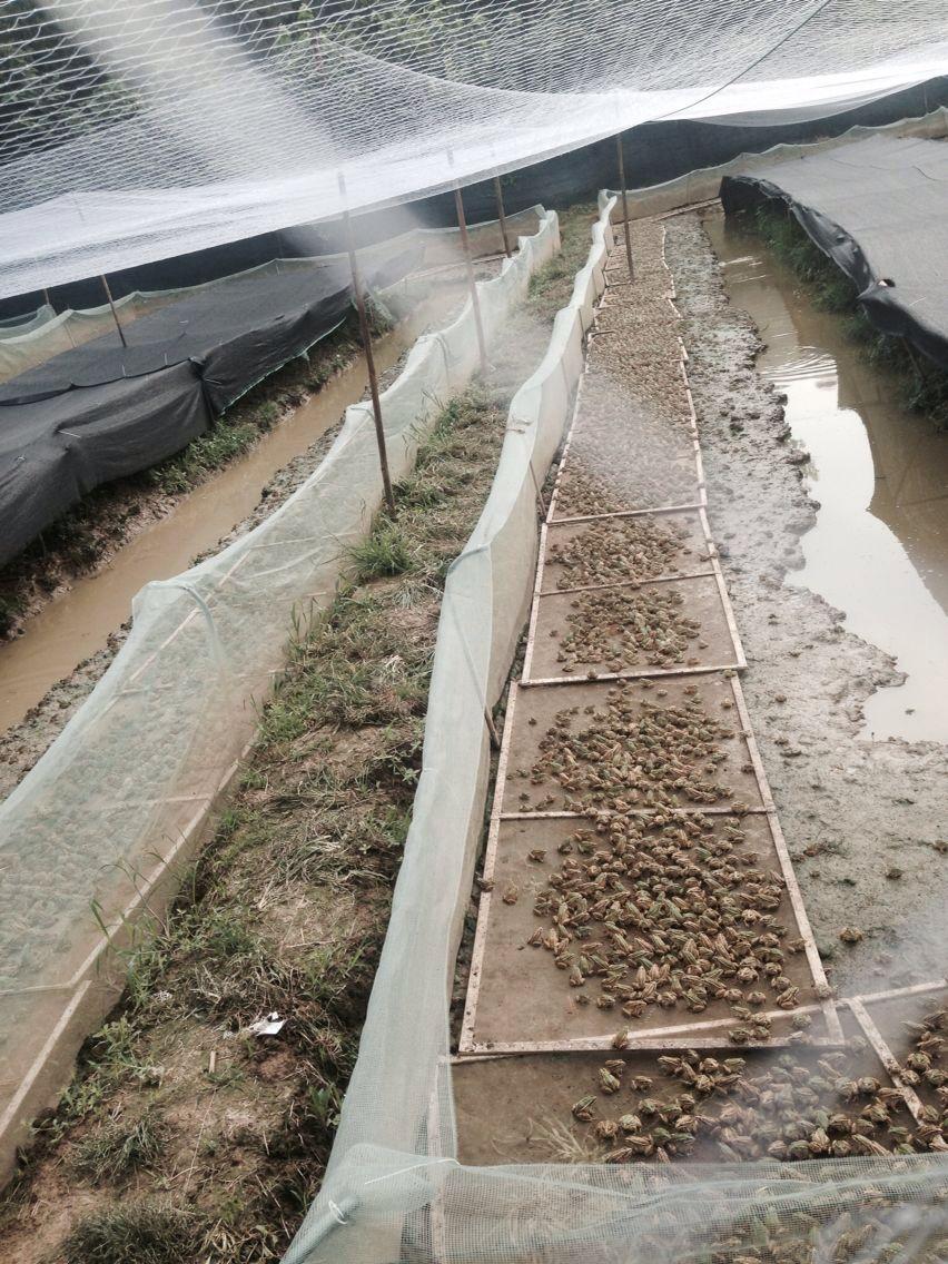 青蛙苗批发_良种特种养殖动物养殖基地-成都刘刚水产养殖有限公司