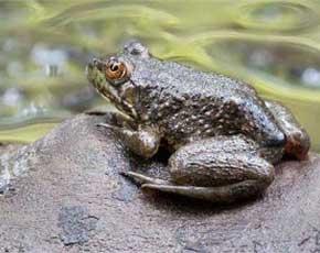 良种青蛙种苗_钥匙扣相关-成都刘刚水产养殖有限公司