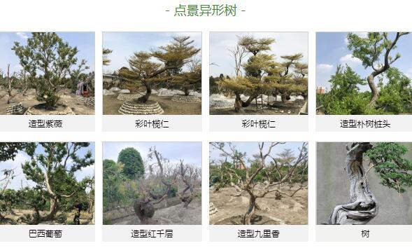 成都造型点景树价格_奇特的造型树图片相关