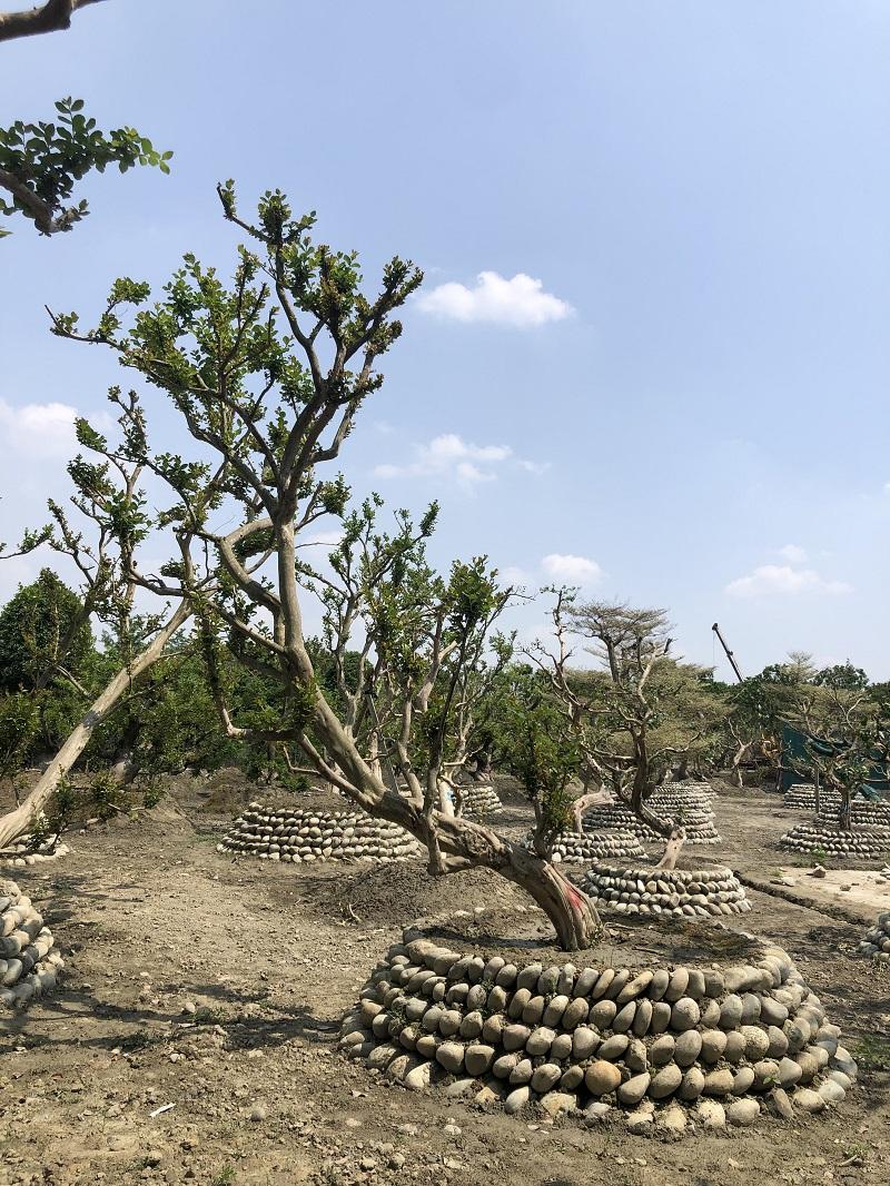 庭院造型_园林其他绿化苗木-成都树叶园林工程万博manbetx手机版登入