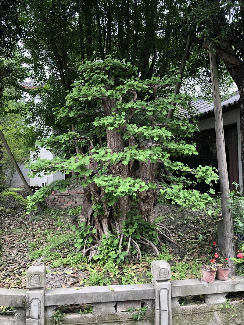 园林造型九里香_庭院其他绿化苗木