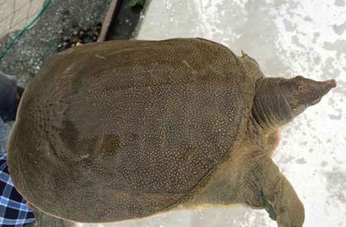 野生甲鱼_人工养殖其他鲜活水产品规格