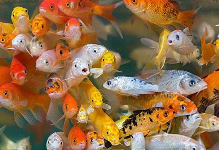 优质观赏鱼类购买_热带观赏鱼活体批相关