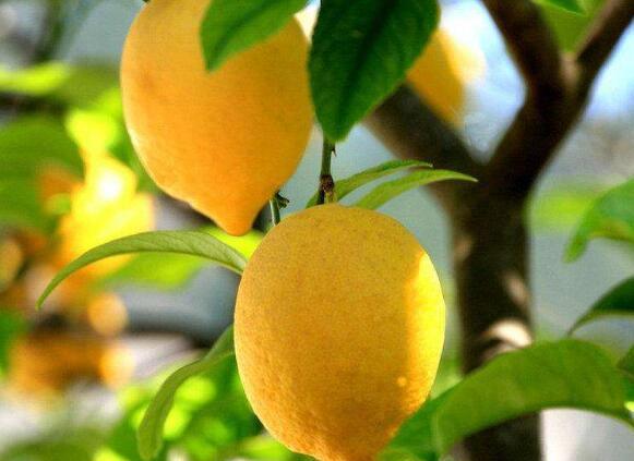 新鲜黄柠檬市场价_其他生鲜水果批发价格