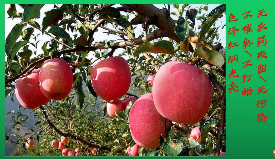 特产_重庆苹果