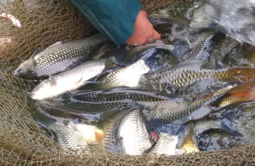 淡水鱼类水产养殖方法_特种养殖动物-遵义森宏农业科技有限公司
