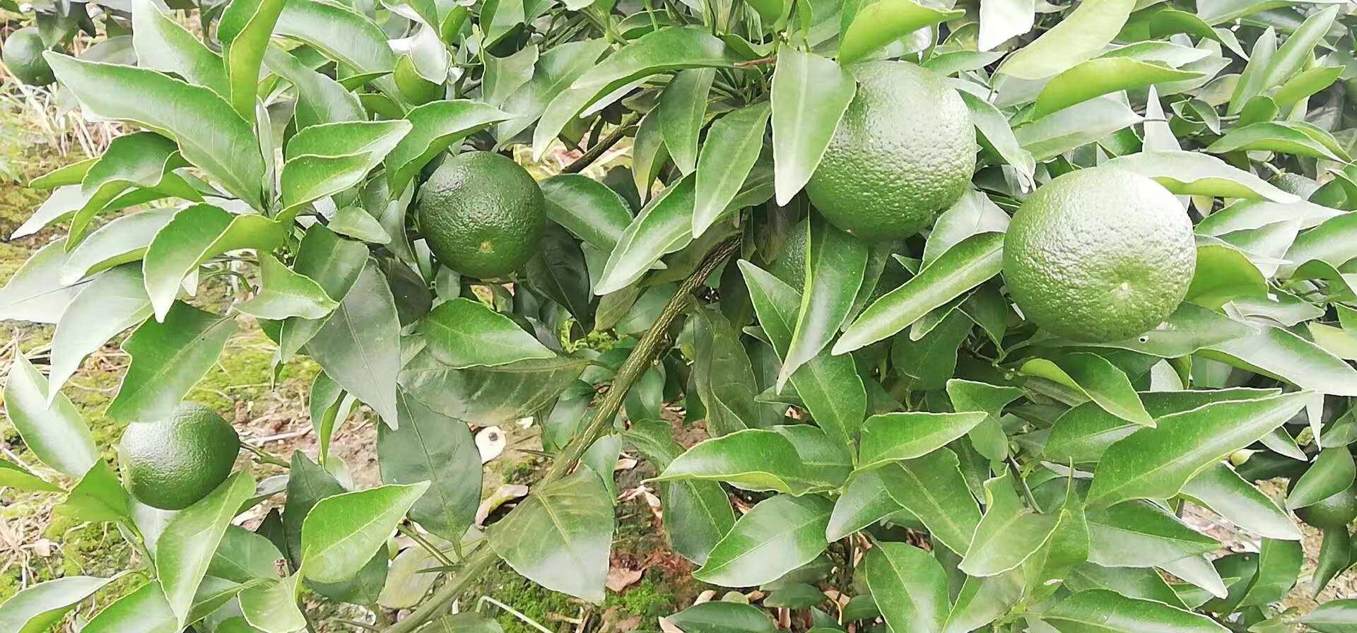 柠檬种植户推荐_四川其他生鲜水果电话