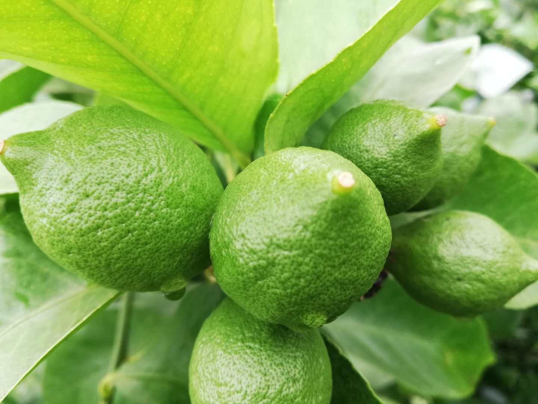 优质柠檬供应商哪家好_香水柠檬的供应商相关