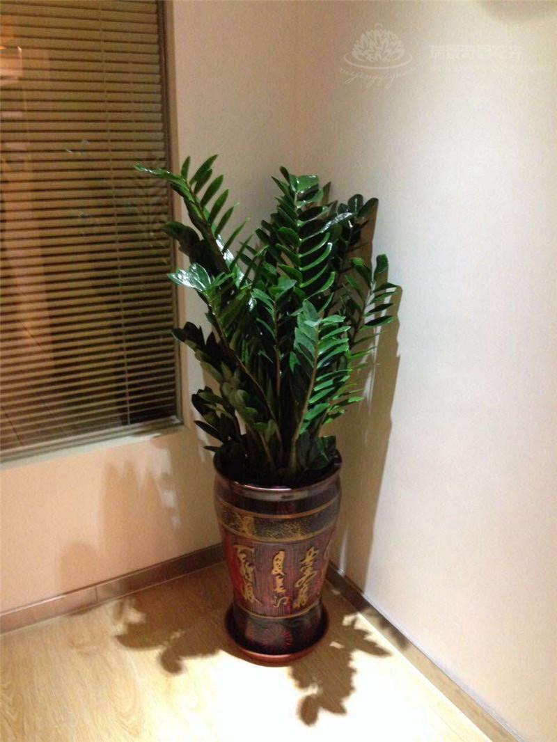 绿植销售怎么样_九州祥云室内观叶植物-北京九州祥云园林绿化有限公司