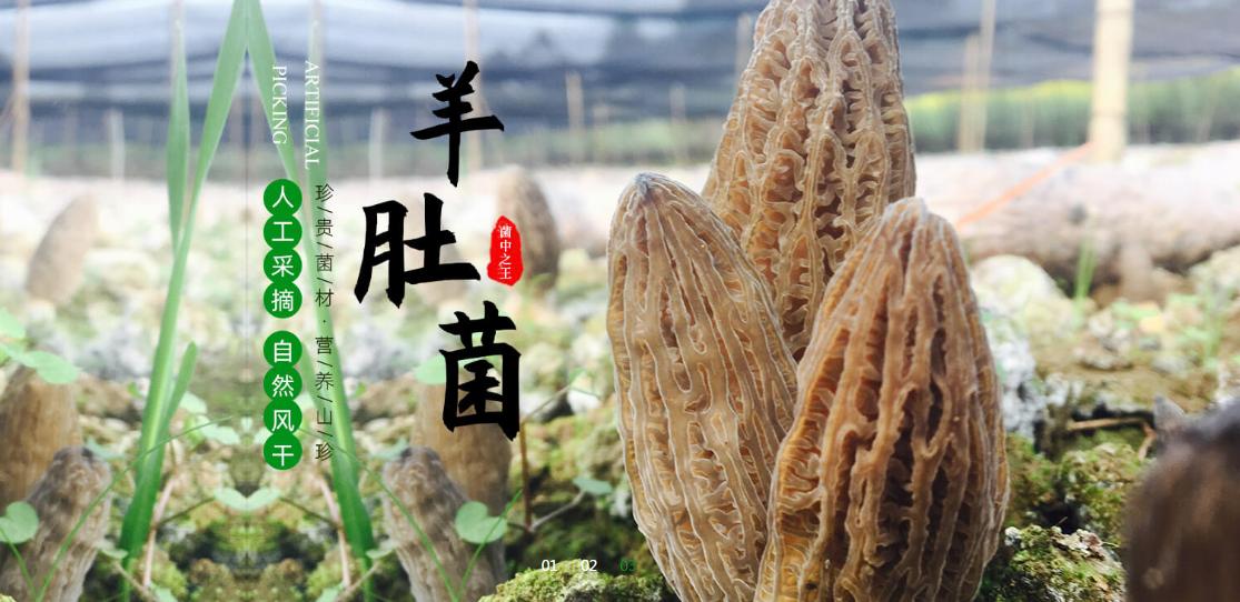 成华区粗柄羊肚菌哪里找_粗柄羊肚菌怎么卖相关-四川三邦羊肚菌业有限公司
