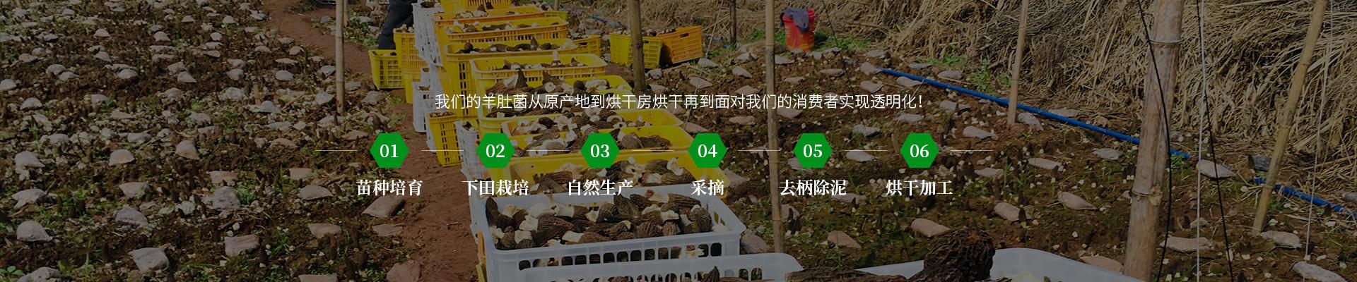 金堂粗柄羊肚菌产地直供_优质其他食用菌哪里找-四川三邦羊肚菌业有限公司