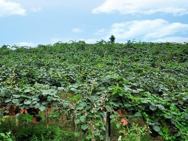 獼猴桃基地_紅心其他生鮮水果地址-貴州三金圣果綠色食品有限責任公司