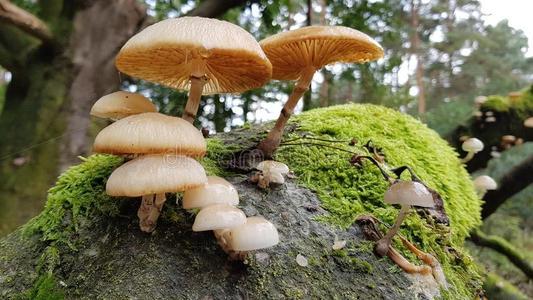 凉山树蘑菇哪里买_凉山其他食用菌哪家好-木里县亚吉电子商务有限责任公司