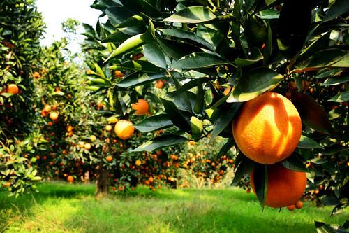 四川生态水果_无籽柑桔、橙、柚-四川省醉忆小橘农业发展有限公司