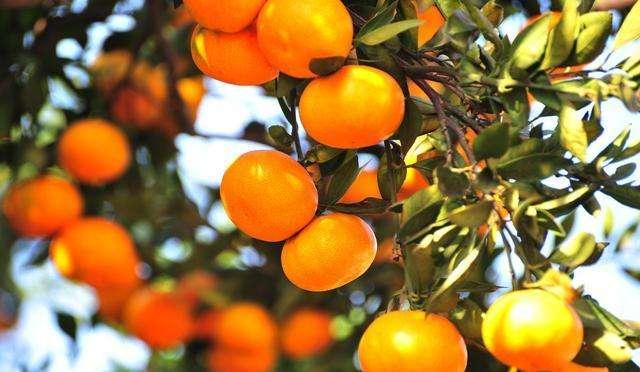 我们推荐不知火柑橘的功效_柑橘类相关-四川省醉忆小橘农业发展有限公司