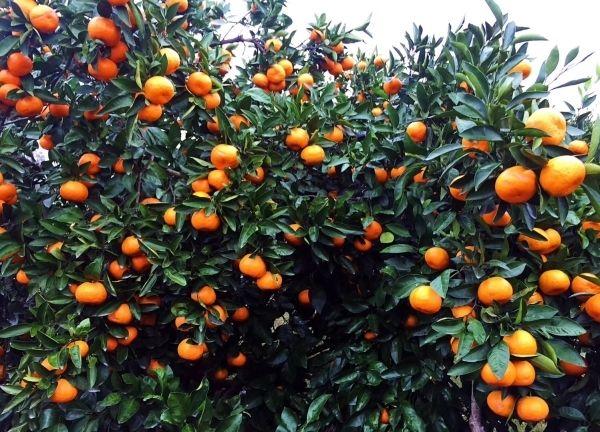 我们推荐无籽生态水果有哪些_ 生态水果树苗价钱相关-四川省醉忆小橘农业发展有限公司