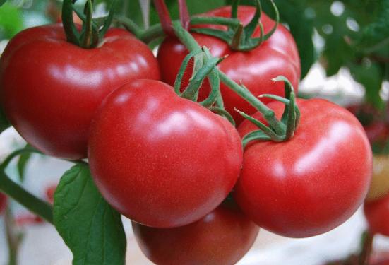 中国西红柿销售网站_西红柿番茄相关-成都市郫都区绿业益康蔬菜种植专业合作社