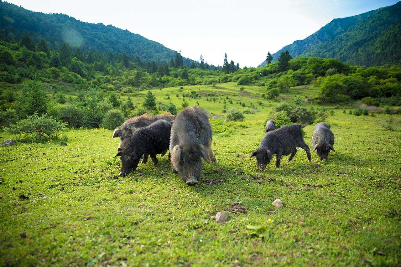 成都能吃到正宗的藏香猪吗_阿坝猪-木里鼎貝曲生态旅游开发有限公司